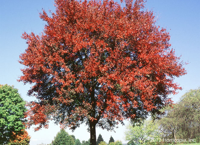 Maple, Red - Autumn Flame